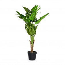 Plant Monstera