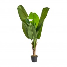 Plant Bananera
